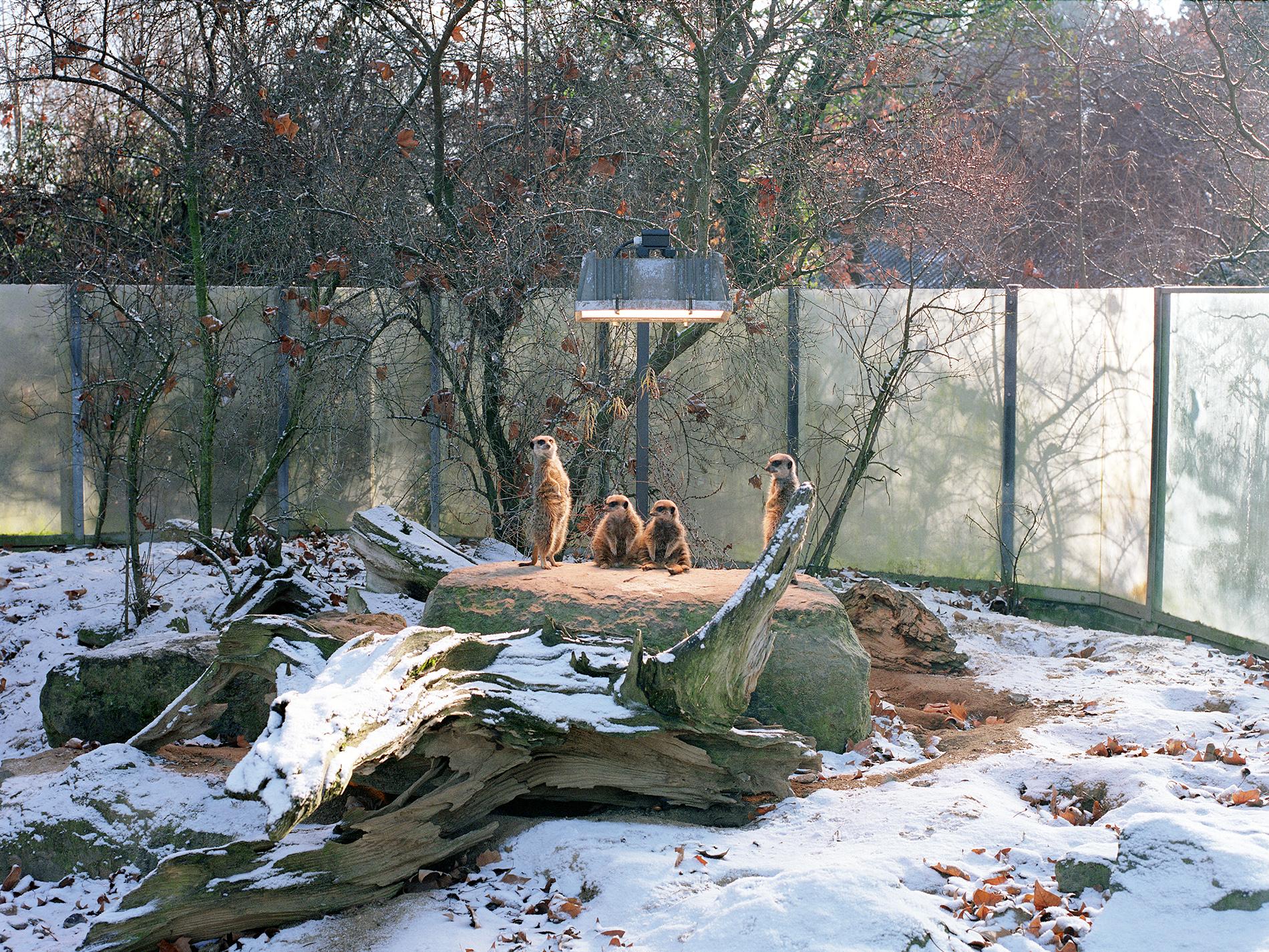 Meerkats at Stuttgat Zoo