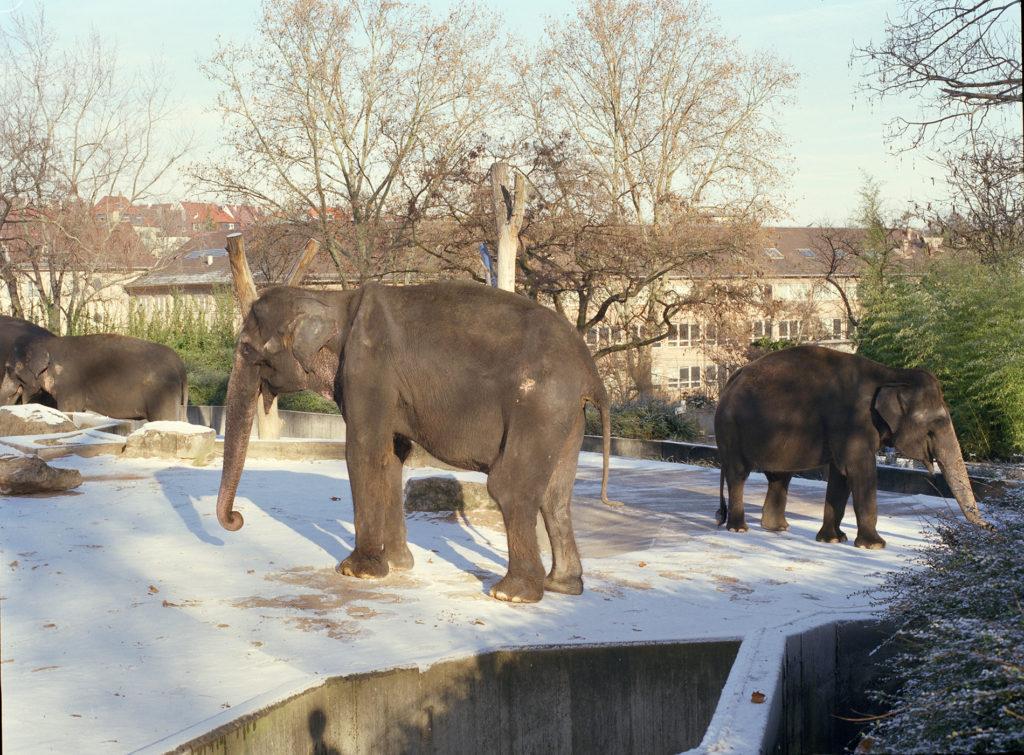 Elephants at Stuttgart Zoo