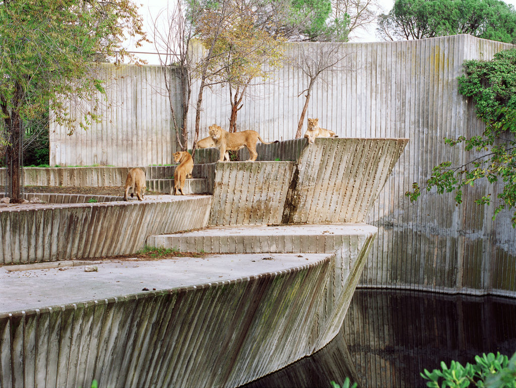 Lions at Madrid Zoo