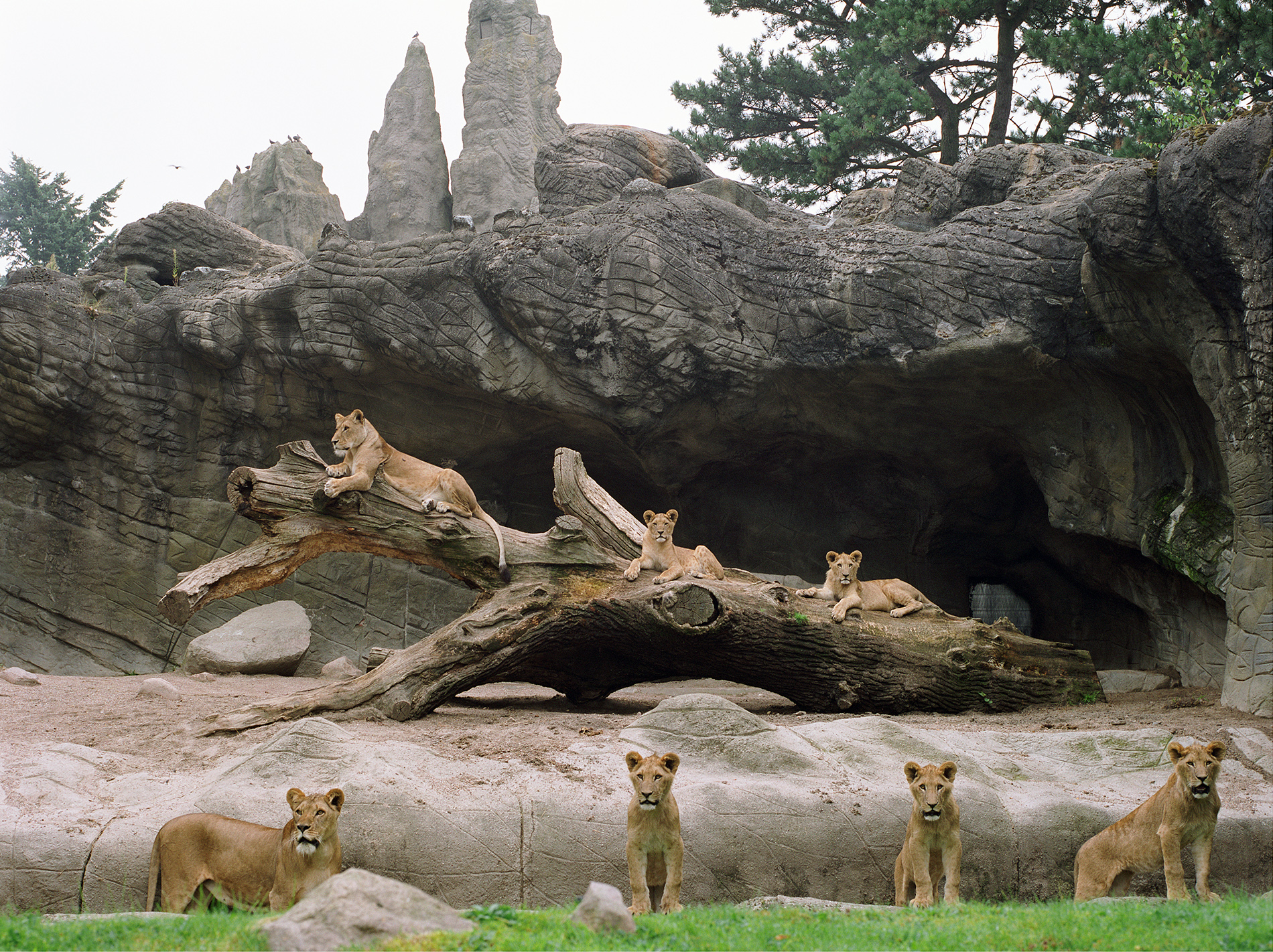 Lion and Lionesses at Hamburg Zoo